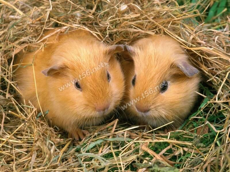 两只可爱小仓鼠加笼子30出了图片